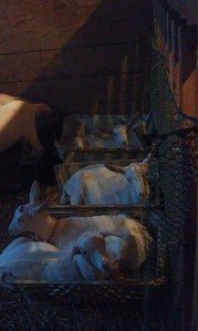 Goat kids sleep in crates in the nursery