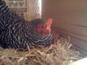 Barred Rock hen in nest