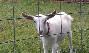 2014 Goat Kids