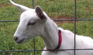 goatlings2_4sept2014