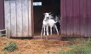 goatlings3_4sept2014