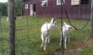 goatlings4_4sept2014