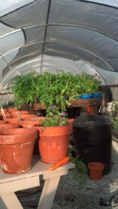 Image of seedlings on tables inside hoophouse.