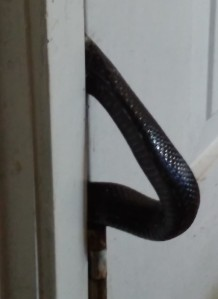 Inside view of snake caught in door