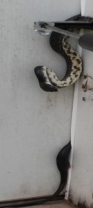 Outside view of snake stuck in door